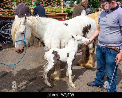 Appleby-in-Westmorland in Cumbria, England.  The Appleby Horse Fair, an annual gathering of Gypsies and Travellers and their horses.  A young boy show - Stock Photo