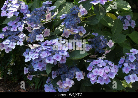 Large Blue Hydrangea flower heads growing in chalk soil with added acid, some reversion to magenta is seen slowly creeping from centre outwards - Stock Photo