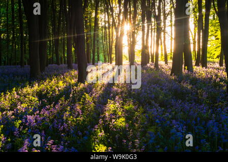 Bluebells in Bluebell woods in spring, Badbury Clump at Badbury Hill, Oxford, Oxfordshire, England, United Kingdom, Europe - Stock Photo