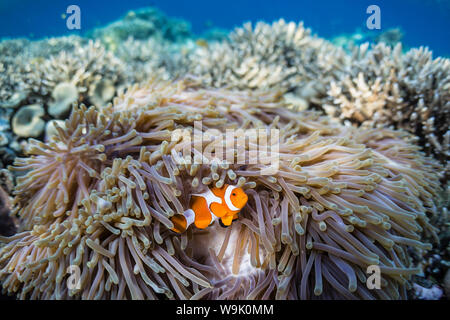 False clown anemonefish (Amphiprion ocellaris), Sebayur Island, Komodo Island National Park, Indonesia, Southeast Asia, Asia - Stock Photo