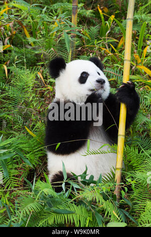 Two year old young Giant Panda (Ailuropoda melanoleuca), Chengdu, Sichuan, China, Asia - Stock Photo