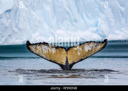 Adult humpback whale (Megaptera novaeangliae), flukes-up dive amongst the ice in Cierva Cove, Antarctica, Polar Regions - Stock Photo