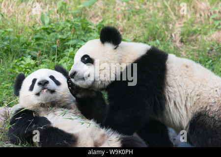 Two year old young giant Pandas (Ailuropoda melanoleuca), Chengdu, Sichuan, China, Asia - Stock Photo