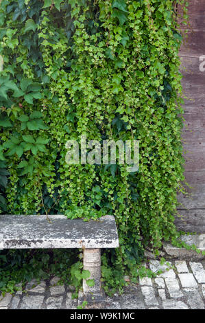 A Stone Bench In Front Of An Ivy Clad Wall - Stock Photo