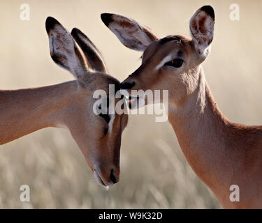 Two young impala (Aepyceros melampus) grooming, Kruger National Park, South Africa, Africa - Stock Photo