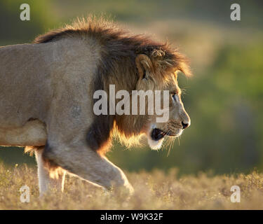 Male lion (Panthera leo), backlit, Addo Elephant National Park, South Africa, Africa - Stock Photo
