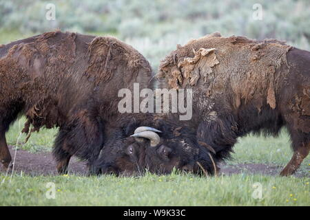 Two Bison (Bison bison) bulls sparring, Yellowstone National Park, Wyoming, United States of America, North America - Stock Photo