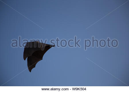 Megabats constitute the family Pteropodidae of the order Chiroptera (bats). They are also called fruit bats or Acerodon and Pteropus—flying foxes - Stock Photo