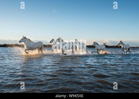 Wild white horses running through water, Camargue, France, Europe - Stock Photo