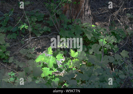 Leaves of three are fair warning that this plannt is poison oak - Stock Photo