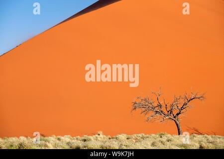 Dead camel thorn tree against the orange sand of Elim Dune, Namib Desert near Sesriem, Namib Naukluft Park, Namibia, Africa - Stock Photo