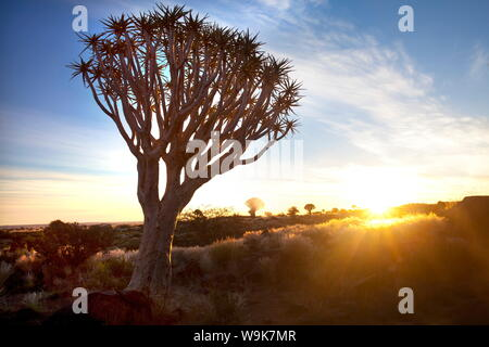 Quiver trees (Aloe Dichotoma), also referred to as Kokerboom, in the Quivertree Forest on Farm Gariganus near Keetmanshopp, Namibia, Africa - Stock Photo