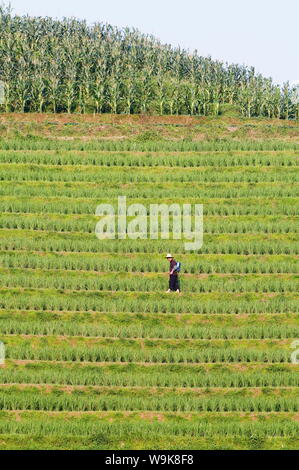 Farmer spraying rice crops for harvest at the Dragons Backbone rice terraces, Longsheng, Guangxi Province, China, Asia - Stock Photo