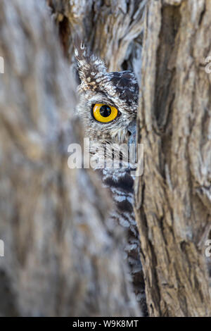 Spotted eagle owl (Bubo africanus), Kgalagadi Transfrontier Park, Northern Cape, South Africa, Africa - Stock Photo