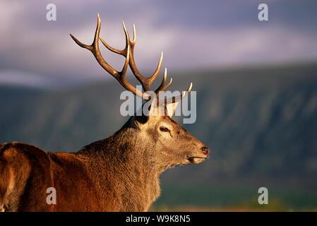 Red deer stag (Cervus elaphus), captive, Highland Wildlife Park, Kingussie, Scotland, United Kingdom, Europe - Stock Photo