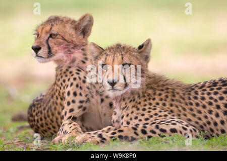 Cheetah cubs (Acinonyx jubatus), Kgalagadi Transfrontier Park, Northern Cape, South Africa, Africa - Stock Photo
