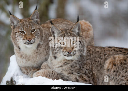 Northern lynx (Lynx lynx lynx), captive, Highland Wildlife Park, Kingussie, Scotland, United Kingdom, Europe - Stock Photo