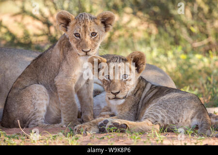 Lion cubs (Panthera leo), Kgalagadi Transfrontier Park, Northern Cape, South Africa, Africa - Stock Photo