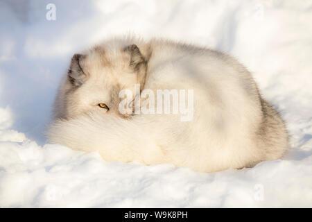 Arctic fox vixen (Vulpes lagopus), captive, Highland Wildlife Park, Kingussie, Scottish Highlands, Scotland, United Kingdom, Europe - Stock Photo