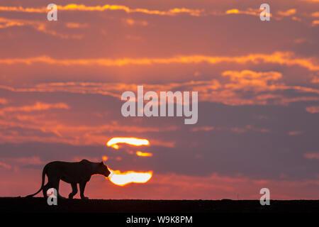 Lioness (Panthera leo) at dawn, Zimanga private game reserve, KwaZulu-Natal, South Africa, Africa - Stock Photo