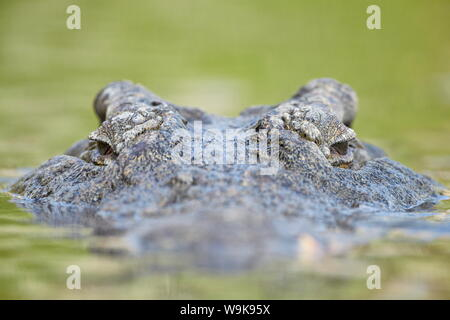 Nile crocodile (Crocodylus niloticus) in the water, Kruger National Park, South Africa, Africa - Stock Photo