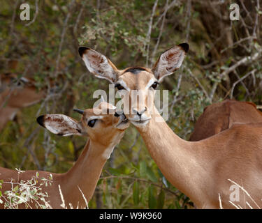Impala (Aepyceros melampus) mother and young buck, Kruger National Park, South Africa, Africa - Stock Photo