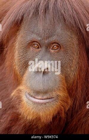 Female Sumatran orangutan (Pongo abelii) in captivity, Rio Grande Zoo, Albuquerque Biological Park, Albuquerque, New Mexico, United States of America - Stock Photo