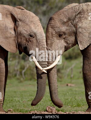 Two African elephant (Loxodonta africana) face to face, Addo Elephant National Park, South Africa, Africa - Stock Photo