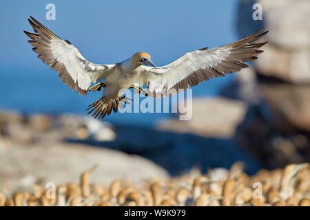 Cape gannet (Morus capensis) landing, Bird Island, Lambert's Bay, South Africa, Africa - Stock Photo