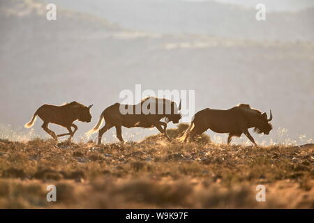 Three black wildebeest (white-tailed gnu) (Connochaetes gnou) running, Mountain Zebra National Park, South Africa, Africa - Stock Photo