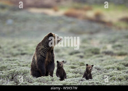 Grizzly Bear (Ursus arctos horribilis) sow and two cubs of the year or spring cubs standing, Yellowstone National Park, Wyoming, USA - Stock Photo