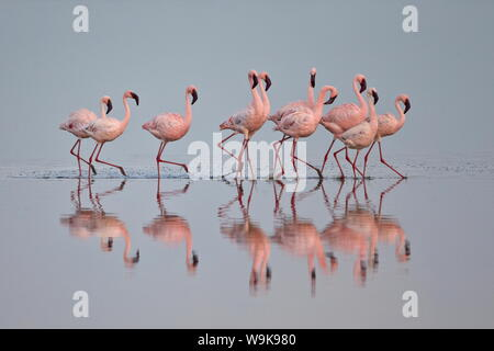 Lesser flamingo (Phoeniconaias minor) group, Serengeti National Park, Tanzania, East Africa, Africa - Stock Photo