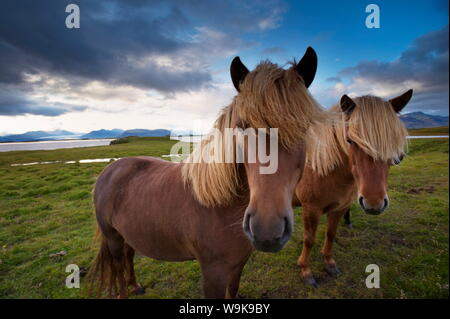 Icelandic horses, near Hofn, Hornafjordur mountains and glaciers behind, East Fjords region (Austurland), Iceland, Polar Regions - Stock Photo