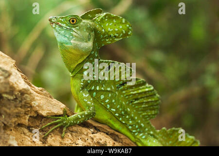 Plumed Basilisk (Jesus Christ Lizard), named because it can run some meters over water; Arenal, Alajuela Province, Costa Rica - Stock Photo