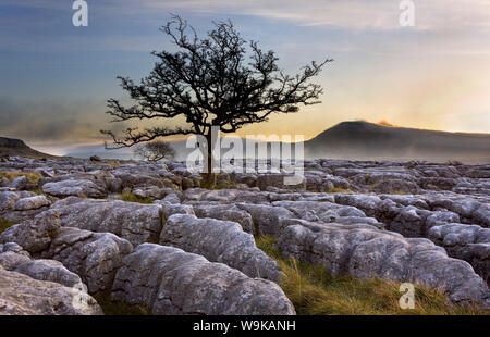 Ingleborough and hawthorn tree at dawn from Twistleton Scars in the Yorkshire Dales, Yorkshire, England, United Kingdom, Europe - Stock Photo