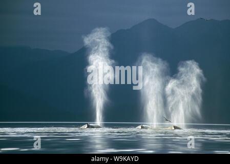 Humpback Whales (Megaptera novaeangliae) blowing. Tenakee Inlet, South East Alaska - Stock Photo