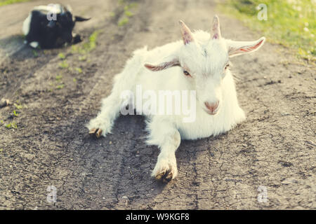 Cute black white goat laying in green grass on land on a farm on a sunny day in summer - Stock Photo