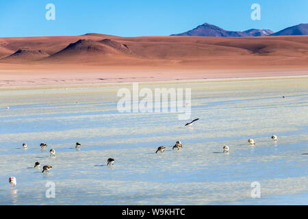 Pink flamingos in Altiplanic Lagoon in the high plains of Bolivia with Andean mountains in the background, a popular stop on the Roadtrip to Uyuni - Stock Photo