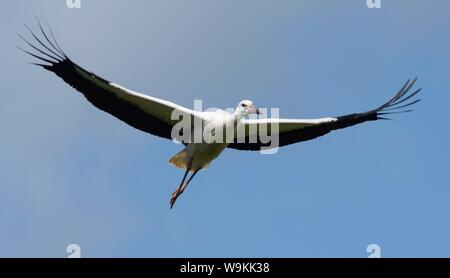 Captive reared juvenile White stork (Ciconia ciconia) in flight over the Knepp Estate soon after release, Sussex, UK, August 2019. - Stock Photo