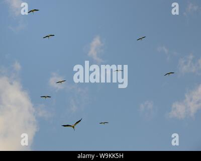 Captive reared juvenile White storks (Ciconia ciconia), flying over the Knepp Estate soon after release, Sussex, UK, August 2019. - Stock Photo