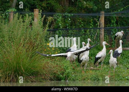 Captive reared juvenile White stork (Ciconia ciconia) flying from a temporary holding pen on release day on the Knepp estate, Sussex, UK, August 2019. - Stock Photo