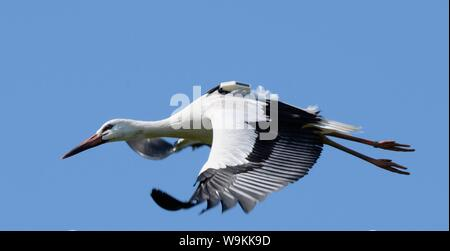 Captive reared juvenile White stork (Ciconia ciconia) with a GPS tracker on its back in flight over the Knepp Estate soon after release, Sussex, UK, A - Stock Photo