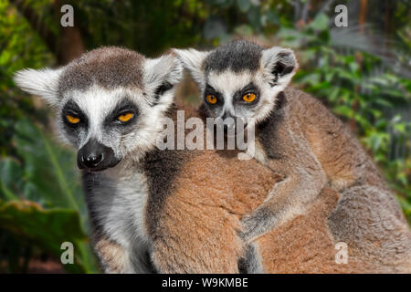 Ring-tailed lemur (Lemur catta) female with young on her back in forest, primate native to Madagascar, Africa - Stock Photo