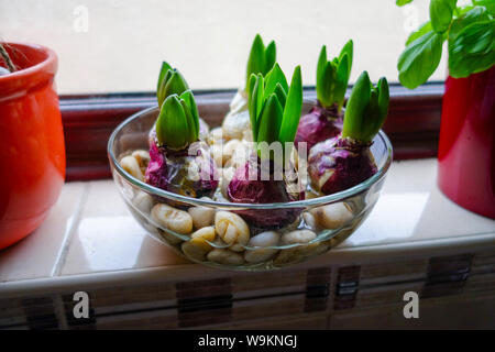 Hyacinths growing in a bowl of water and pebbles on a kitchen windowsill - Stock Photo