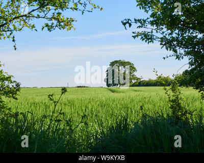 An ancient beech tree seen across a field of winter barley being gently blown in the sunshine and framed by a hole in a hawthorne hedge - Stock Photo