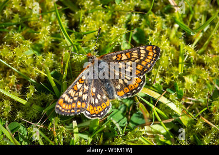 Marsh Fritillary butterfly resting on some moss - Stock Photo