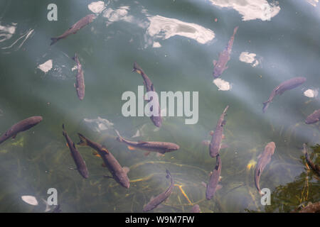 Fische im Piburger See, Ötztal - Stock Photo