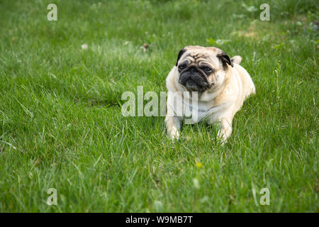 Pug dog lying on the grass in park - Stock Photo
