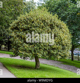 Variegated holly tree planted in a lawn. - Stock Photo