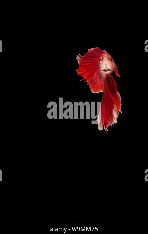 Betta Siamese fighting fish isolated - Stock Photo